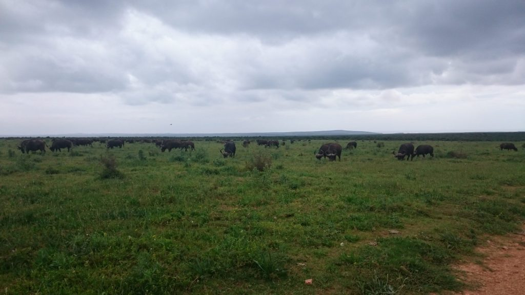 Buffels | Addo Elephant National Park | Zuid Afrika