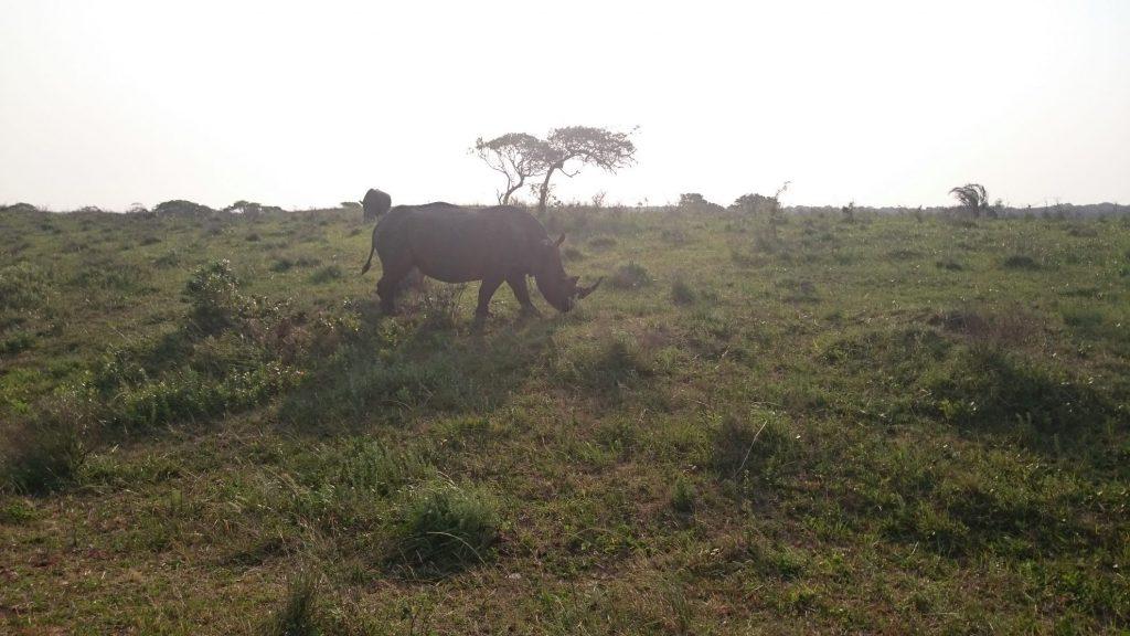 Neushoorns | Hluhluwe National Park | Zuid Afrika