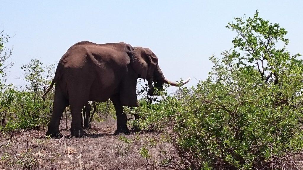 Olifant | Kruger Park