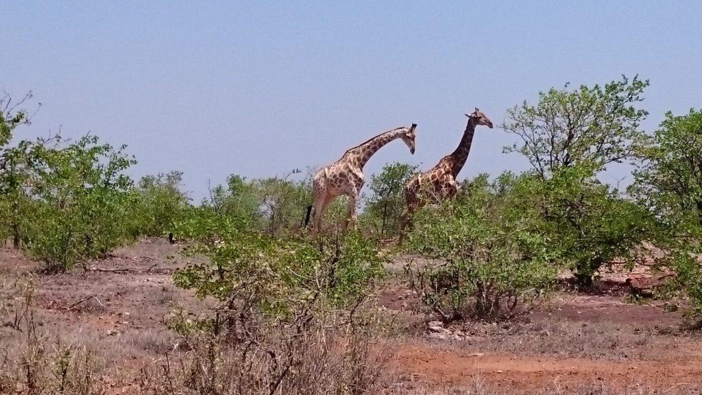 Giraffes | Kruger Park | Zuid Afrika