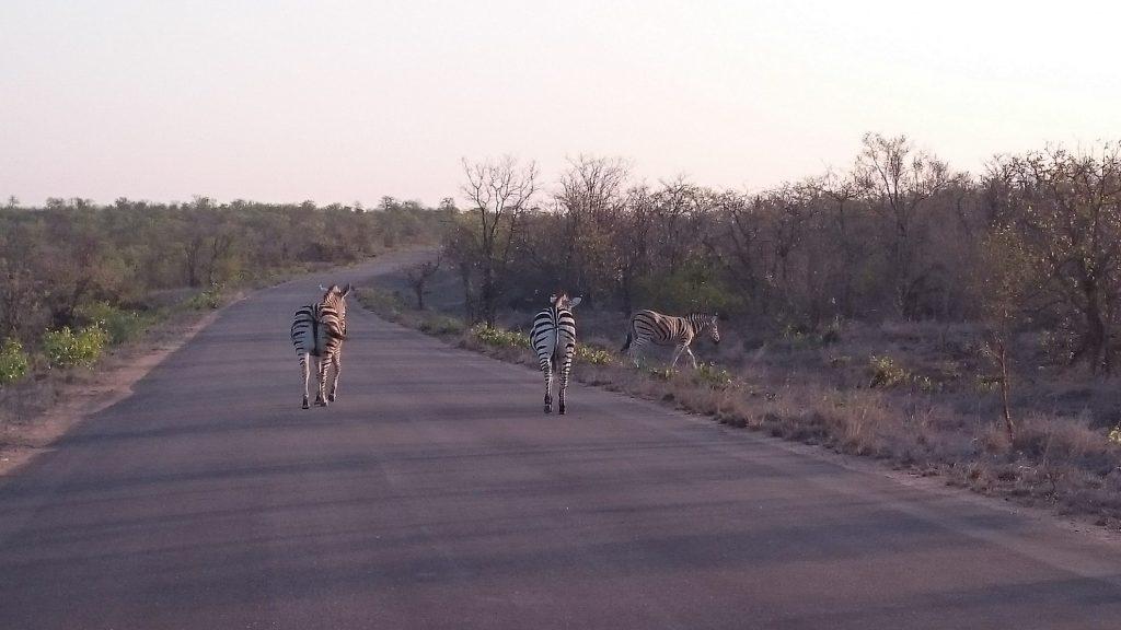 Zebra's | Kruger Park
