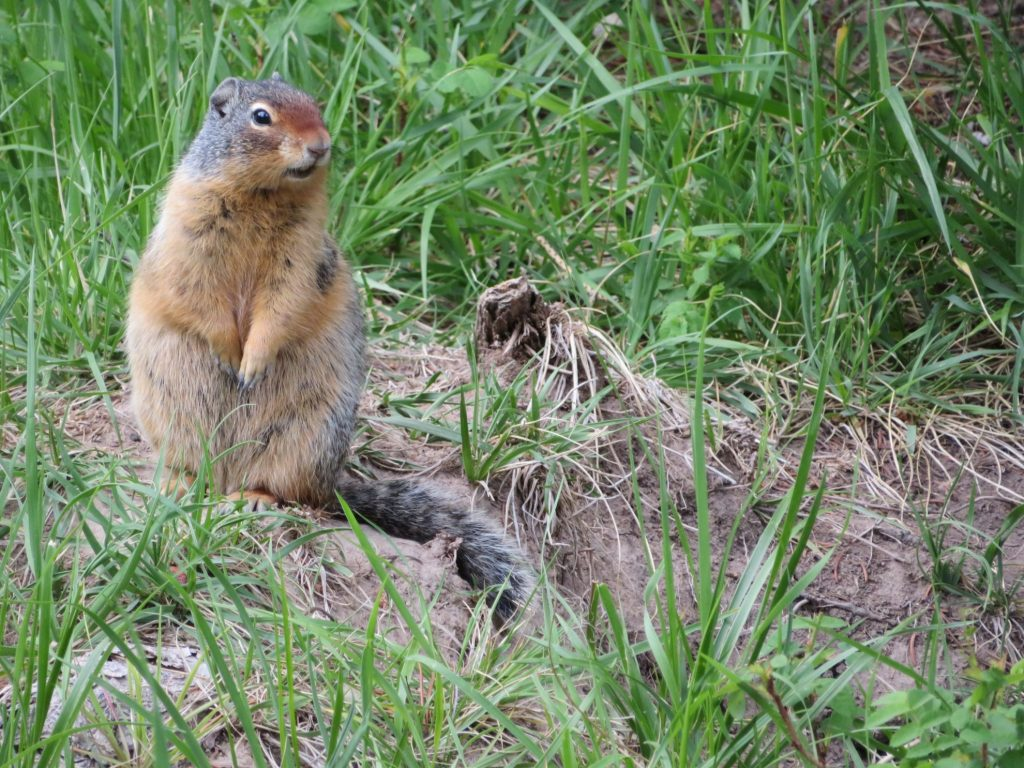 Banff National Park | Tunnel Mountain 1 campground | Marmot
