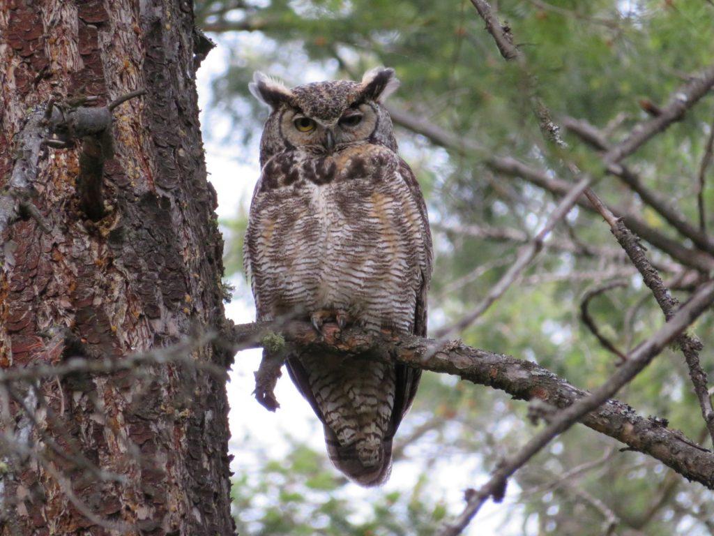 BC Parks | Ellison Park | Owl