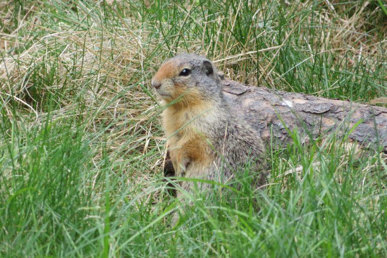 Wildlife op de camping | Marmot