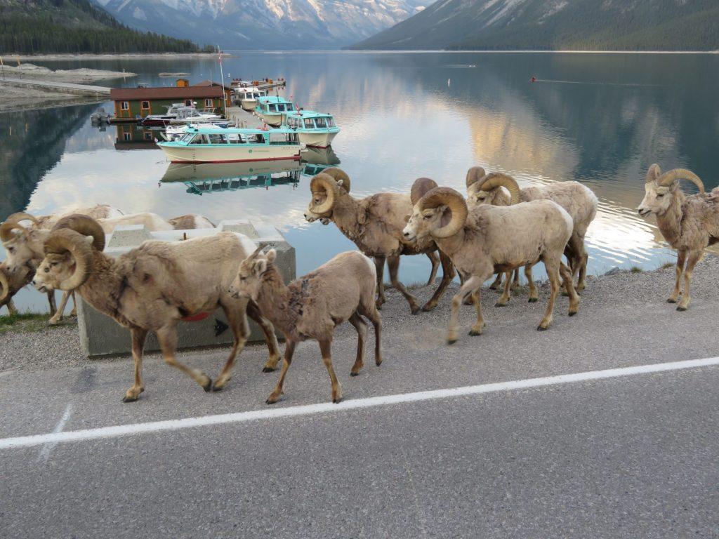 Moeflons | Lake Minnewanka | Banff National Park