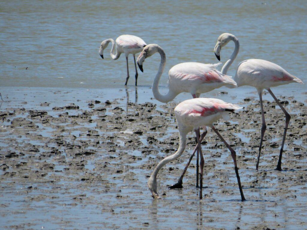 Camarque | Flamingo's