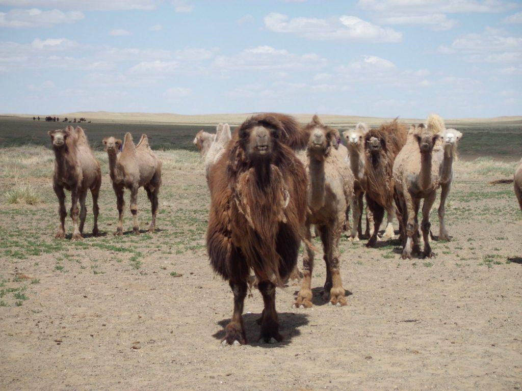 De mooiste roadtrips | Gobi Tour | Mongolië | Kamelen