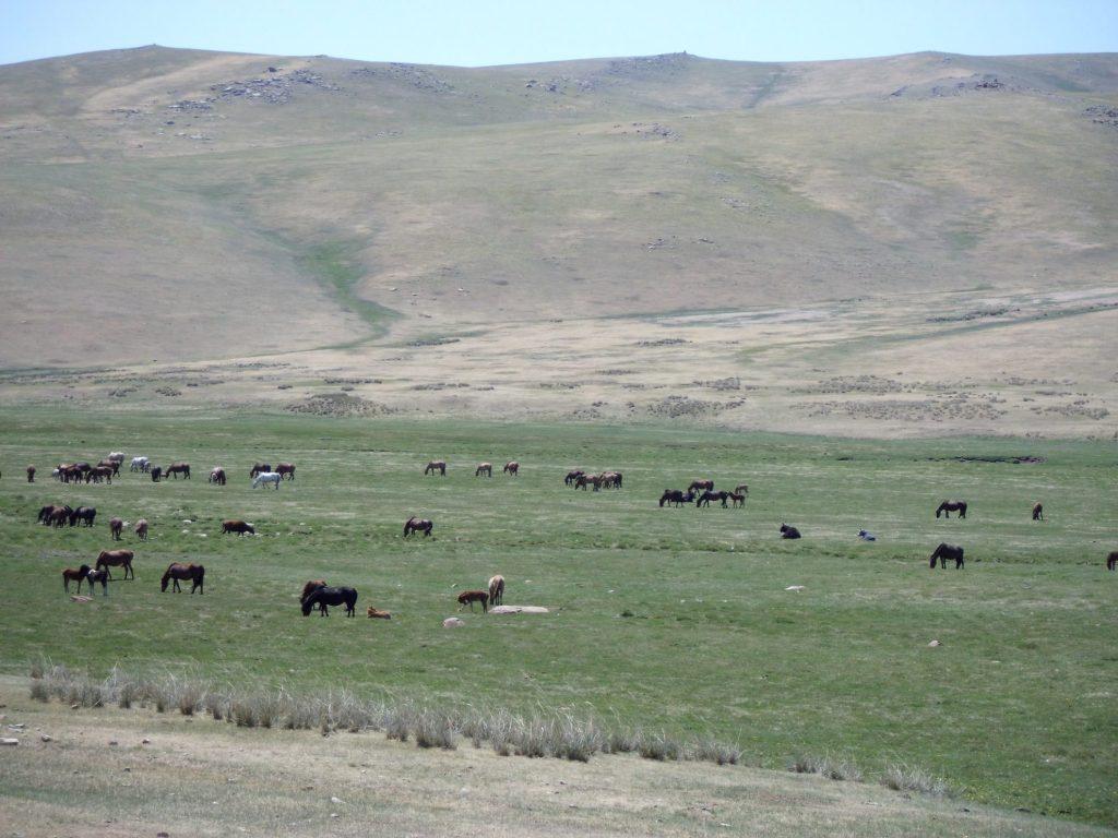 Nomaden hebben grote kuddes vee op de steppes van Mongolië