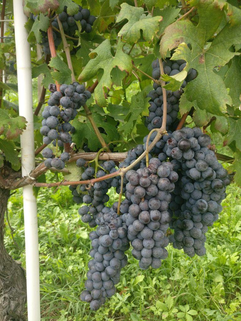 De druiven zijn klaar om geoogst te worden | Barbaresco