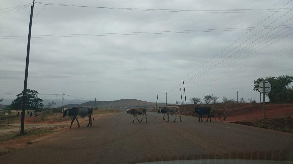 Een roadtrip door Zuid Afrika is dat wel veilig? | Overstekende koeien