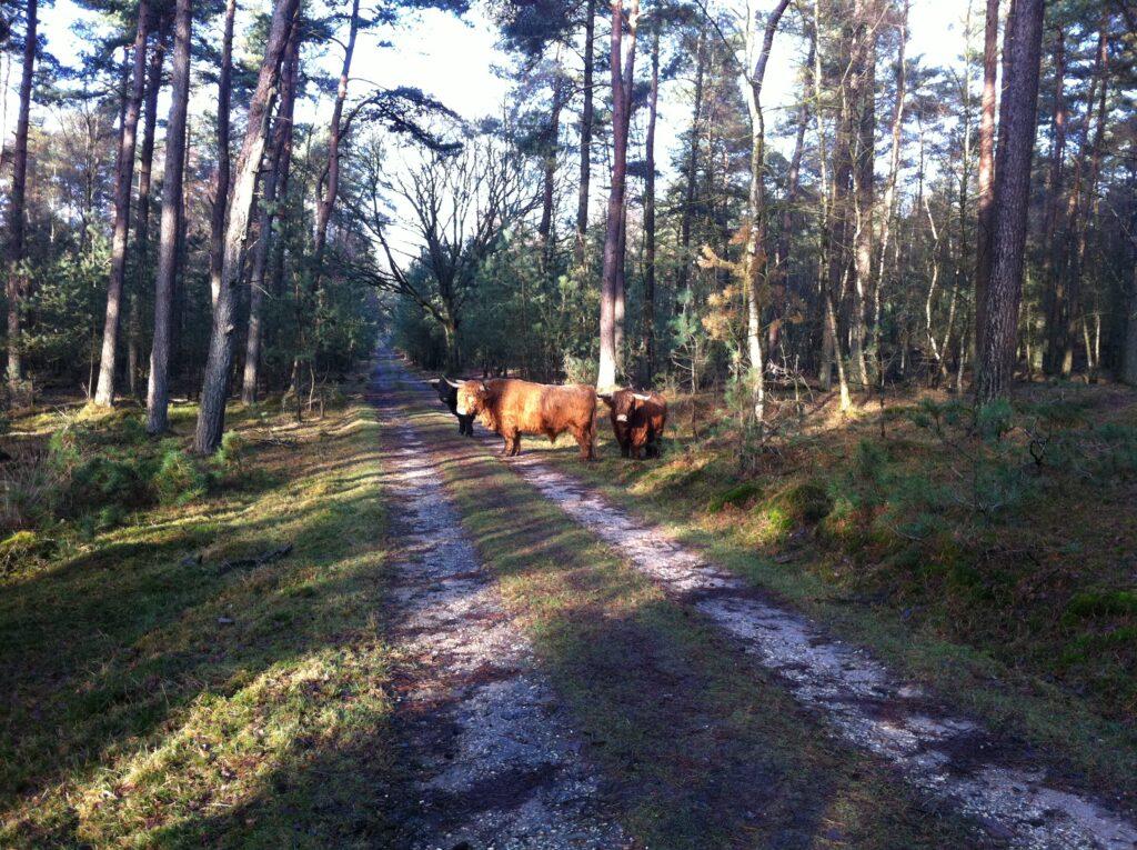 Schotse Hooglanders in het Deelerwoud